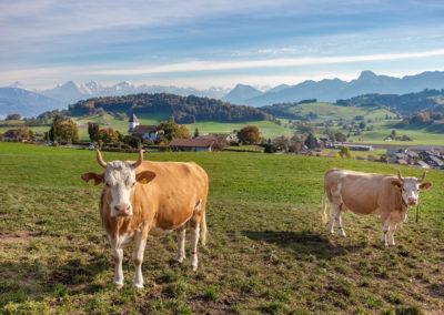 Kühe, Herkunft Riggisberg